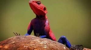 1-lagartolos-10-animales-con-colores